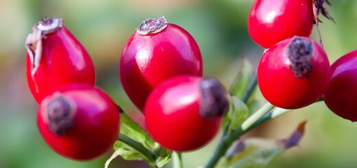 How to store rose hips