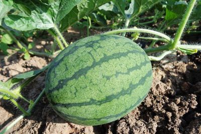 How to Grow a Watermelon