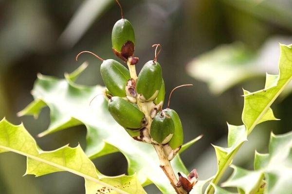 12 Little-Known Benefits of Kenger Gum