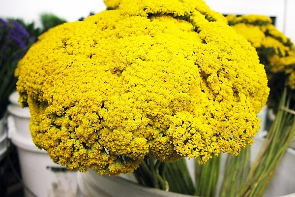 What Is Yarrow