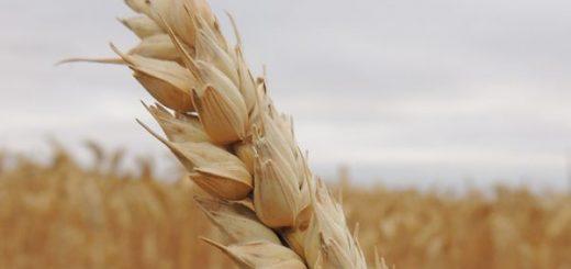 What is Siyez Wheat