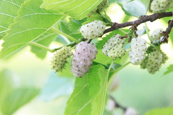 Mulberry Benefits