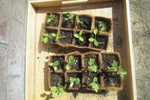 Seedling Formation in Pots