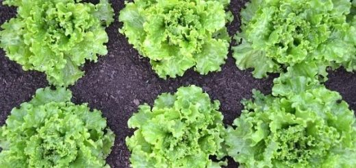 How to Plant and Grow Lettuce at Home