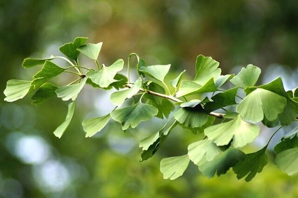 Important Benefits of Temple Tree Leaf
