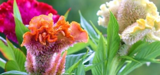 Rooster Comb Flower