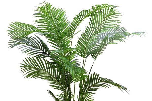 Areka Palm Care Tips
