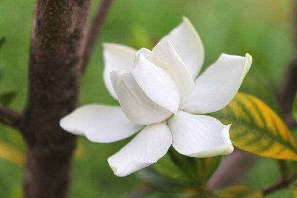 Gardenia Flower Care, Meaning, Reproduction