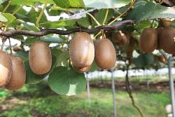 Growing Kiwi at Home