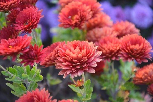 How to Care for Chrysanthemum (Chrysanthemum) Flower
