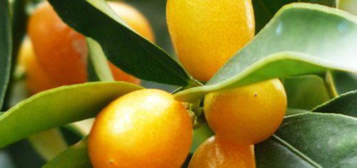 Benefits of Kumquat
