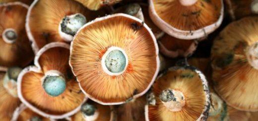 Sycamore Mushroom