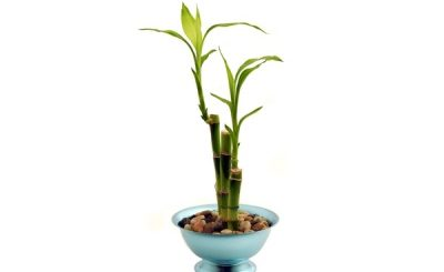 How to Grow Bamboo at Home