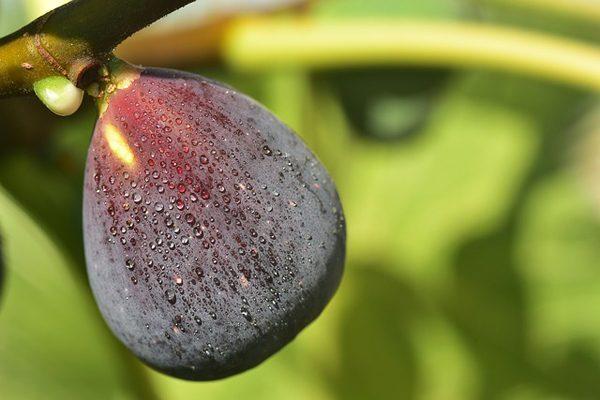 Fig Milk