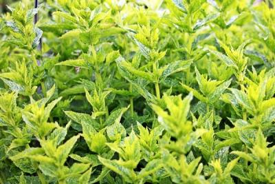 Grow Peppermint Seeds