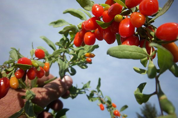 What Are the Benefits of Goji Berry